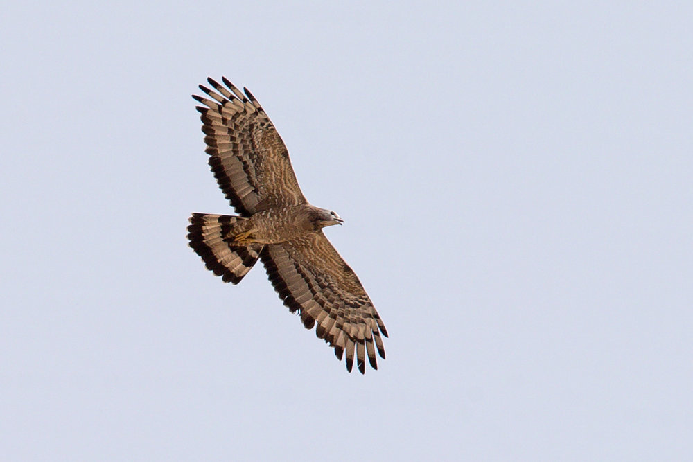 AN6V4465-Crested-Honey-Buzzard.jpg