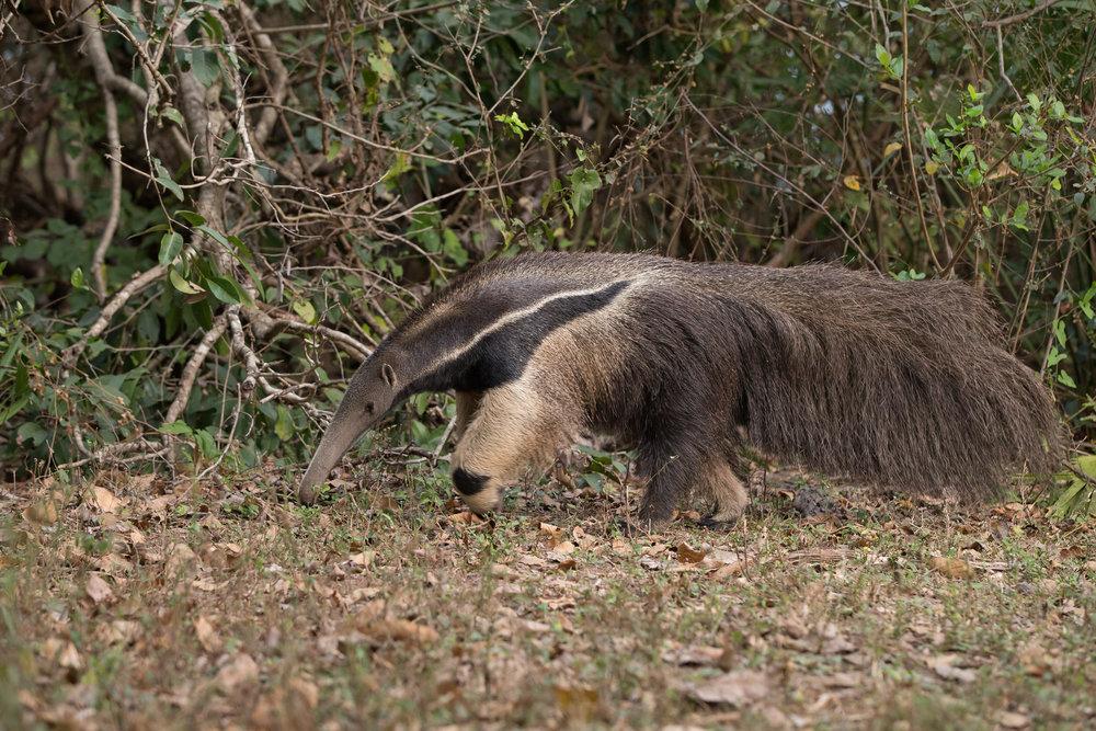 Giant_anteater.jpg