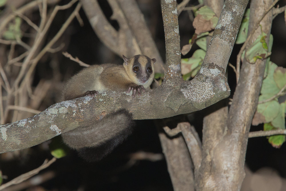 'Fanamby' Fork-marked Lemur, Tattersalli Camp, Daraina