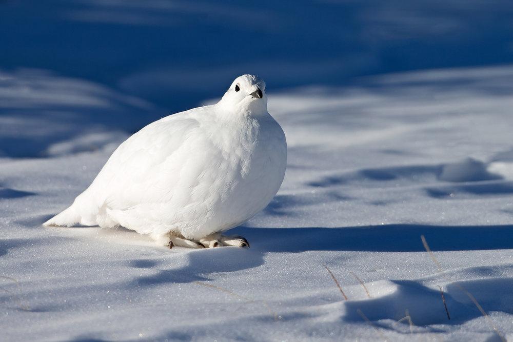 White-tailed Ptarmigan, Colorado Mar 2015