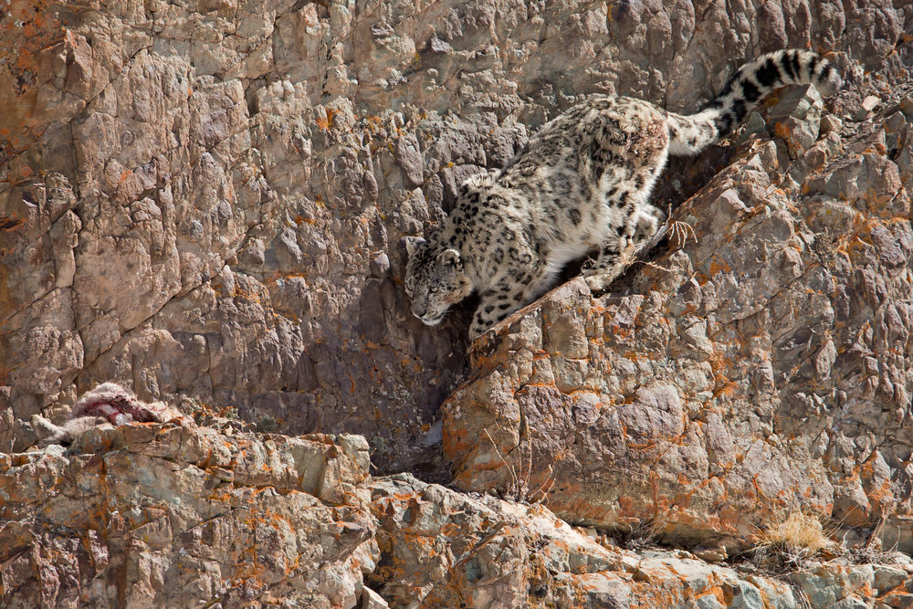 A Snow Leopard is very reluctant to leave its Blue Sheep kill in Hemis National Park