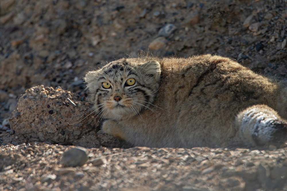 Pallas's Cat, Tso Kar. Hear how I managed to take this photo and many others