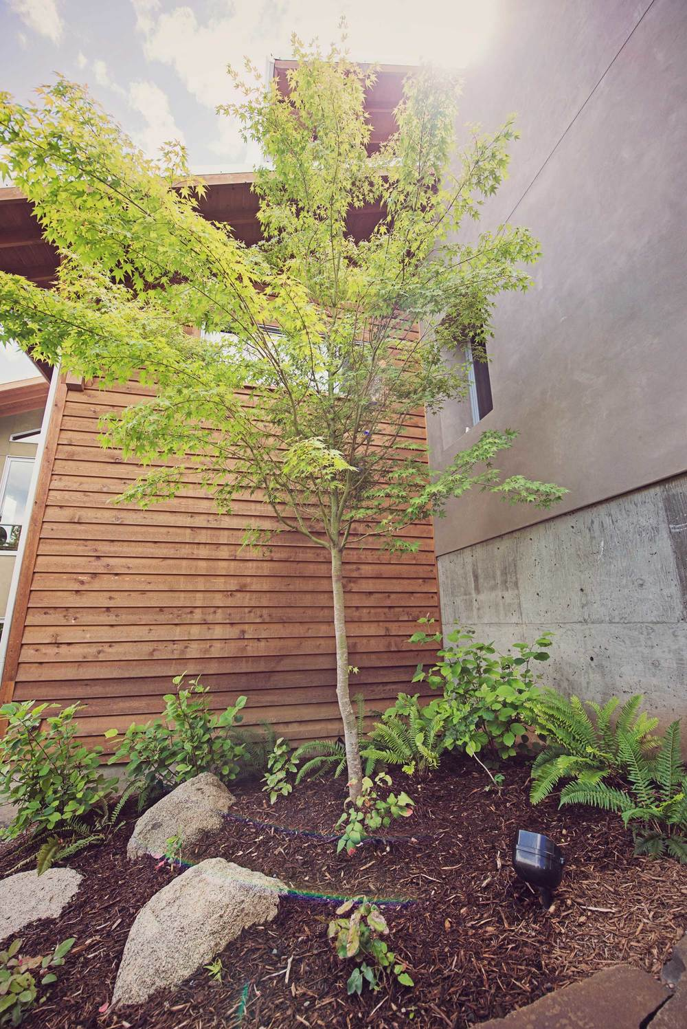 Japanese Maple with Modern Architecture