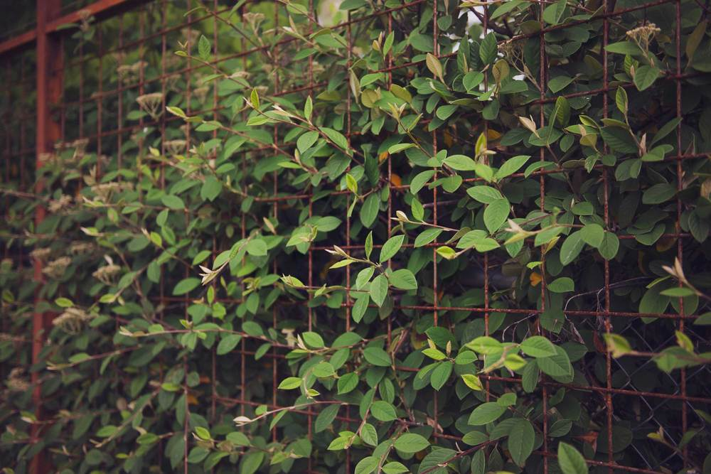 Rusted Steel Mesh Deer Fence with Evergreen Hedge