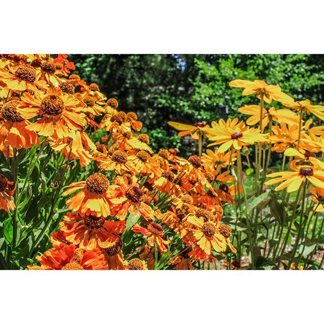 First Annual Pollinator Garden Tour 2017 - Blue Sky Residence Qualifier - Orange Blanket Flower (Gaillardia) + Black-Eyed Susan(Rudbeckia) #Beelove#pollinatorlove#PerennialsGarden#EcologicalLandscaping#SummerPerennials#beehabitat