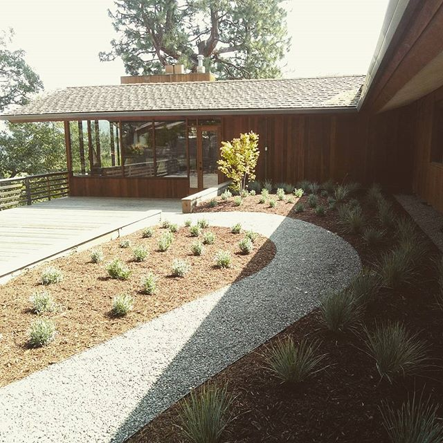 'Provence' hybrid #Lavender + #blueoatgrass on this new #courtyardgarden. Crushed #gravelpath with clean steel edging leads down to the #cedardeck on a modern home designed by one of the original students of #franklloydwright.  And also, a pretty 👌 #rainchain