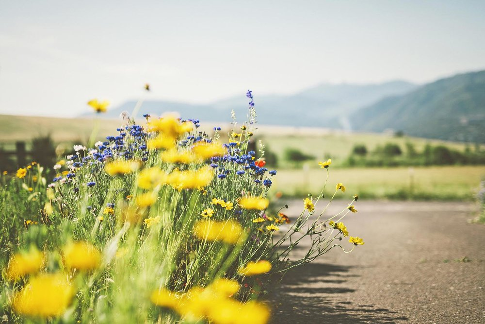 coreopsis + centaurea + yellow + blue bee garden + butterfly + deer resistant + landscape wildflower meadow man made + cornflower + Ashland hills