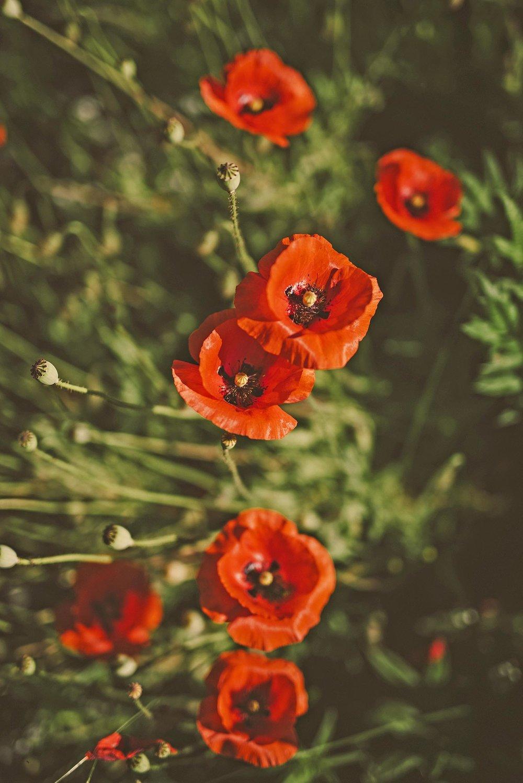 Red poppies + meadow perennial flower garden