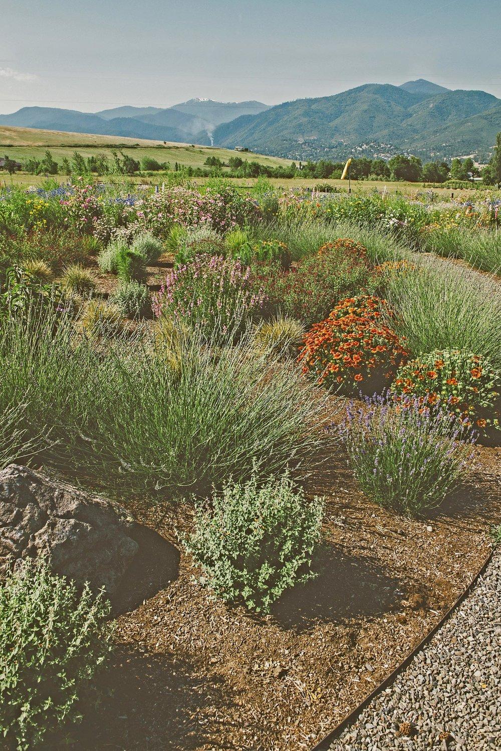 water-wise pollinator garden + gravel pathway + lavendula + red poppies + mixed flowering perennials + bee garden + butterfly garden + ashland oregon hills