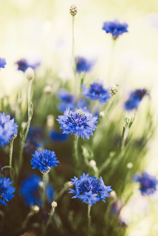 dwarf cornflower + native perennial wildflower meadow + deer resistant flower species