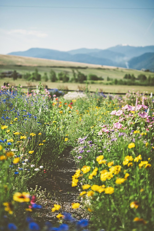 diverese bird + butterfly + pollinator  man made meadow + perennial flower garden + blanket flower + dwarf cornflower + lemon mint + crushed gravel path