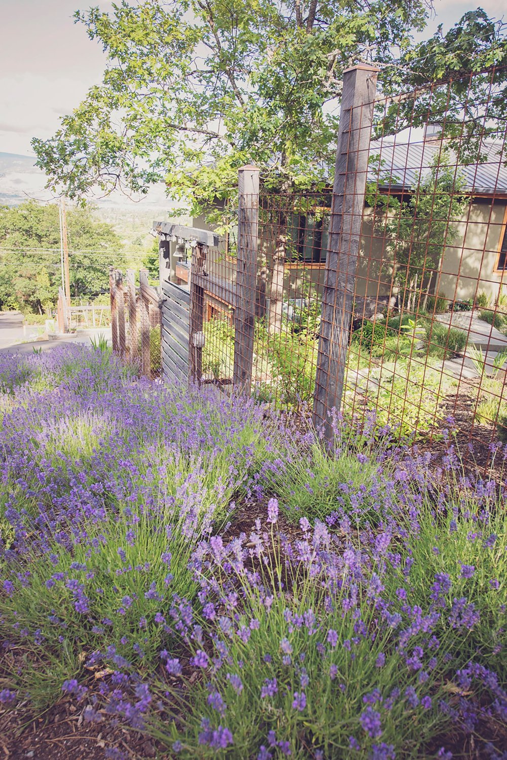 lavender deer resistant + drought tolerant + perennial pasture + steel wire mesh deer fence + juniper posts + ornamental fence gate