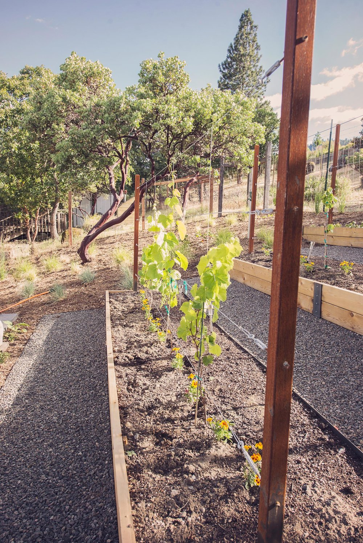 raised bed cedar planted boxes + little backyard vineyard + sustainable hobby gardening + hillside backyard landscaping + crushed basalt gravel 2