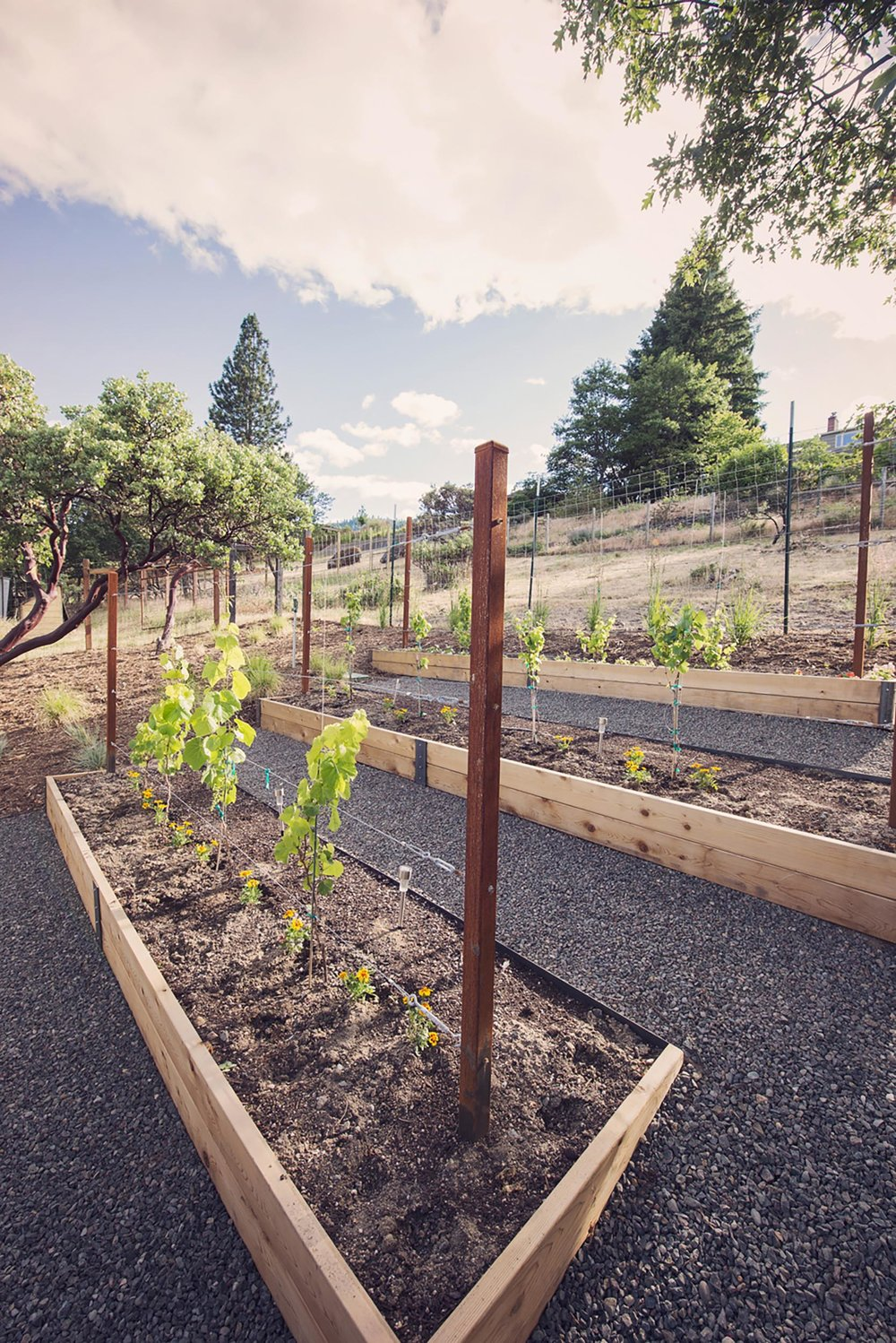 raised bed cedar planted boxes + little backyard vineyard + sustainable hobby gardening + hillside backyard landscaping + crushed basalt gravel