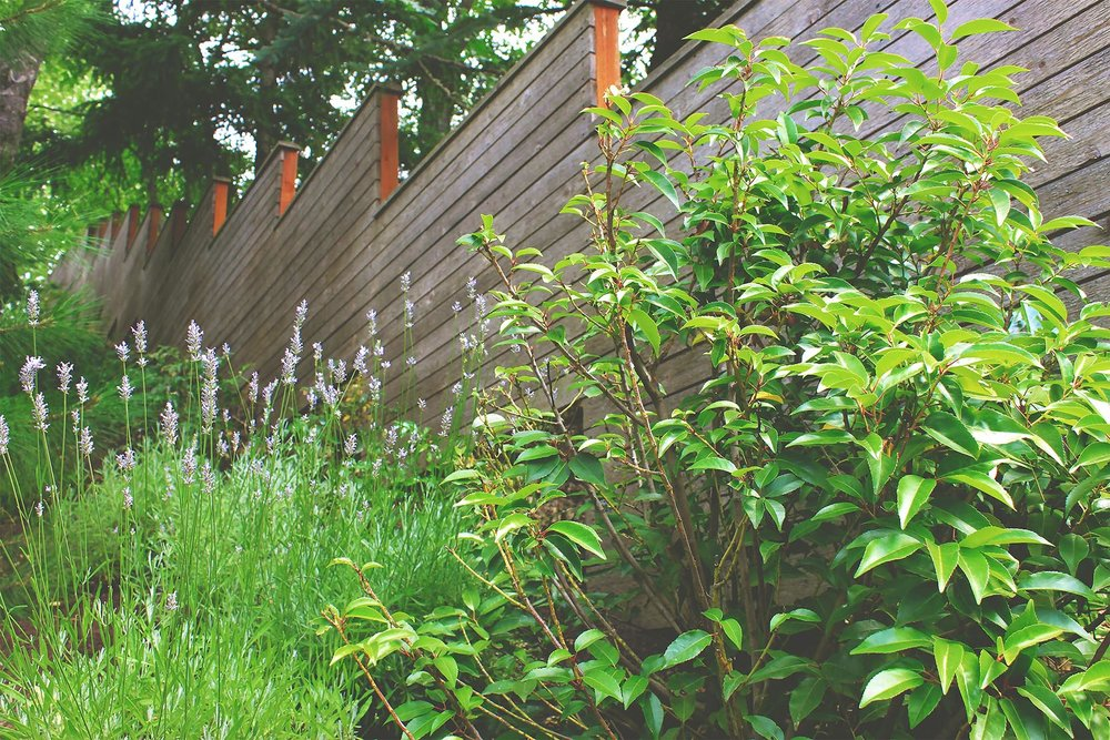 Horizontal Slat Privacy Fence + Rhododendron + Lavender