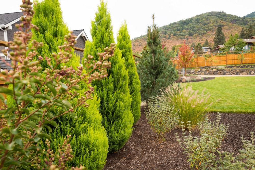 'Wilma Goldcrest' Monterey Cypress [ Cupressus macrocarpa ] screens views of neighboring yards along the fenceline.