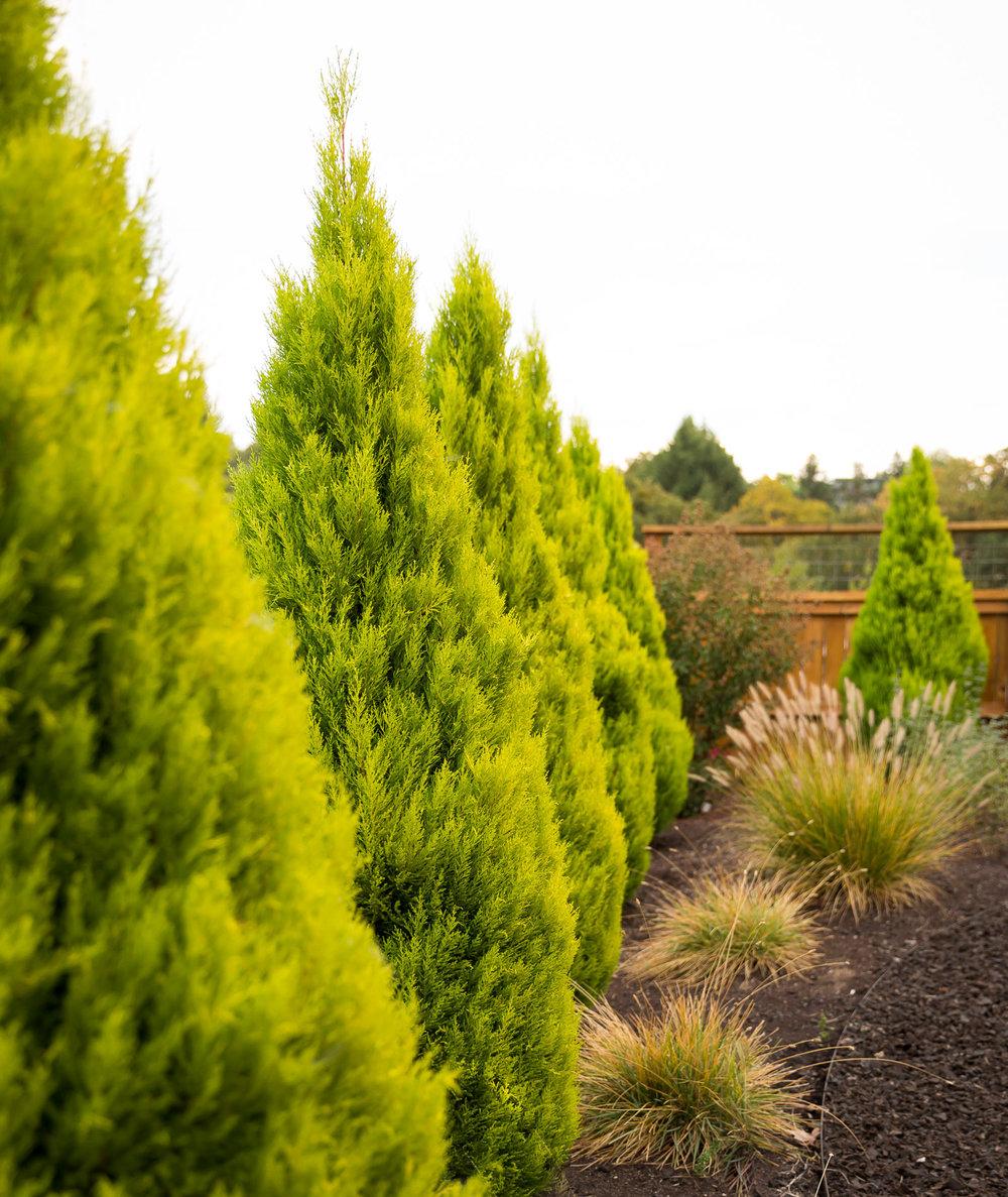 A row of 'Wilma Goldcrest' Monterey Cypress [ Cupressus macrocarpa]  + a 'Vanderwolf's Pyramid' Pine [ Pinus flexilis ].