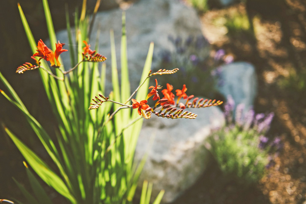 Crocosmia 'Lucifer' (Montbretia) + Hummingbird Perennial