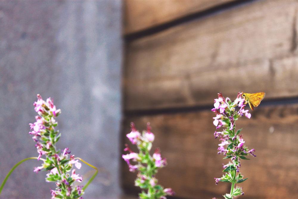 Terraced Concrete Planters + Modern + Deer-Resistant Perennial Garden + Teucrium + Pollinator + Cedar Shed