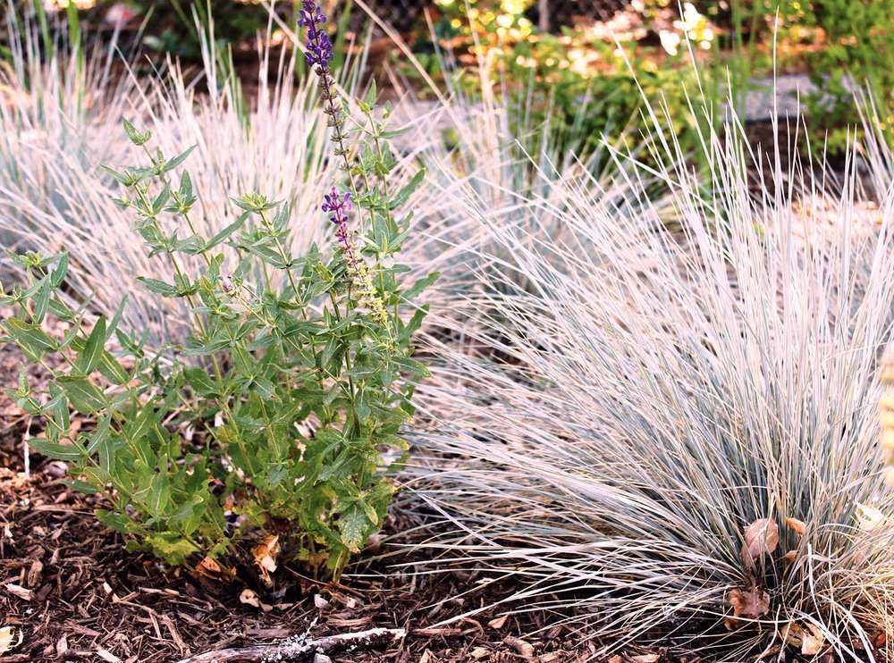 Helictotrichon sempervirens + Blue Oat Grass + Salvia Caradonna Sage + Drought Tolerant Perennial Garden