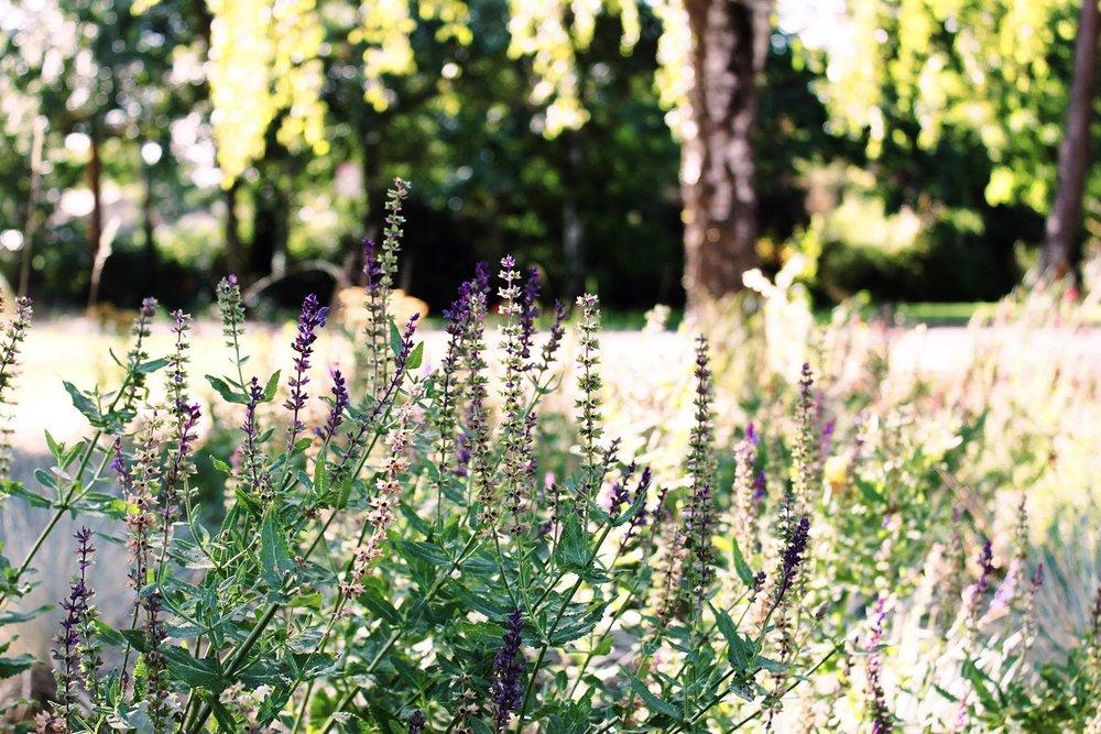 Salvia nemorosa 'Caradonna Sage' + Drought Tolerant Garden 3