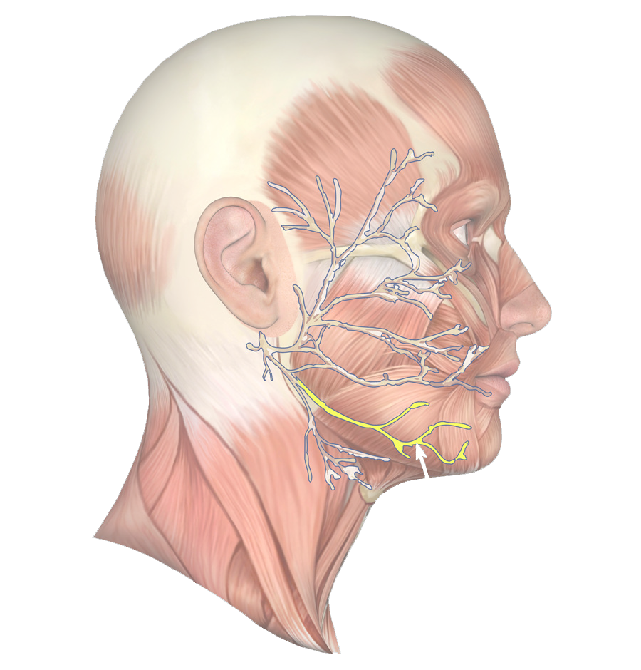 jaw muscle 63.png