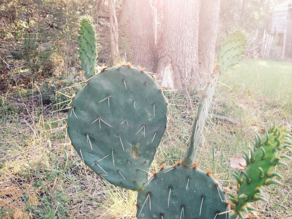Cactus via rootsandfeathers.com