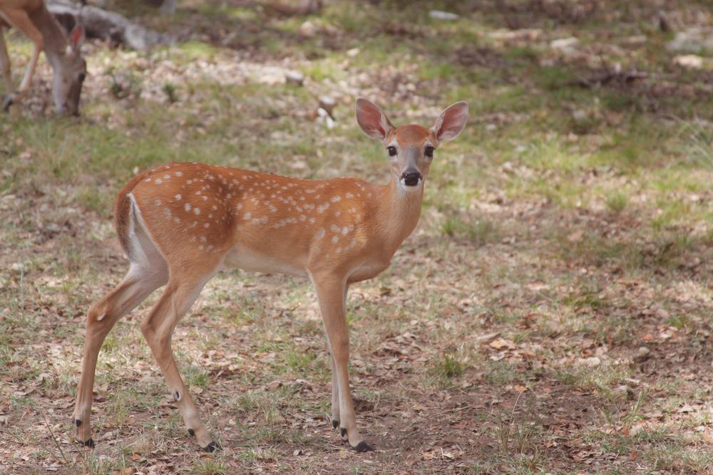Baby deer via rootsandfeathers.com