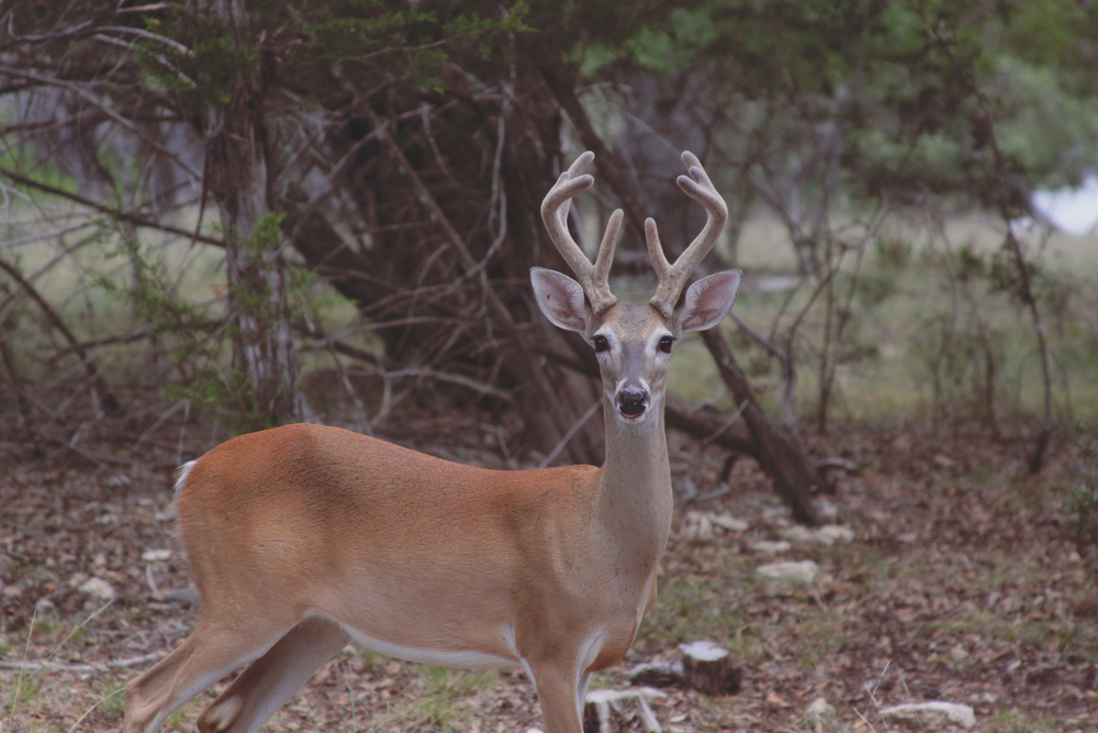 deer via rootsandfeathers.com