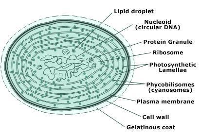 cyanobacteria-cell-structure.jpeg