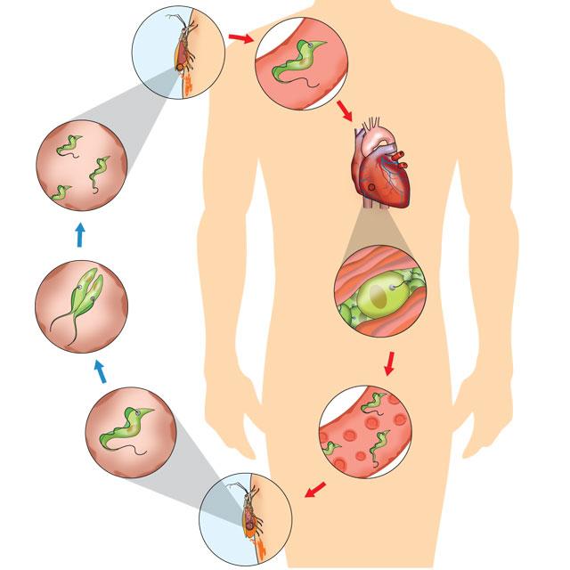 Ciclo da doença de Chagas