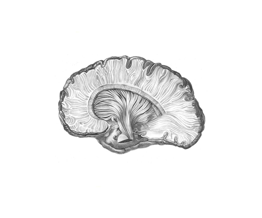 Estrutura fibrosa da coroa radiante, corte central. Cápsula interna depois de retirar o núcleo caudado do tálamo.