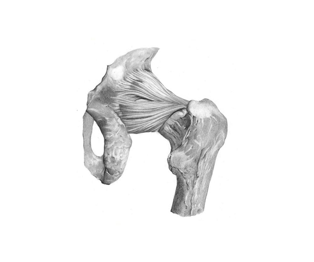 Ligamento das extremidades inferiores. Fêmur com a bacia.