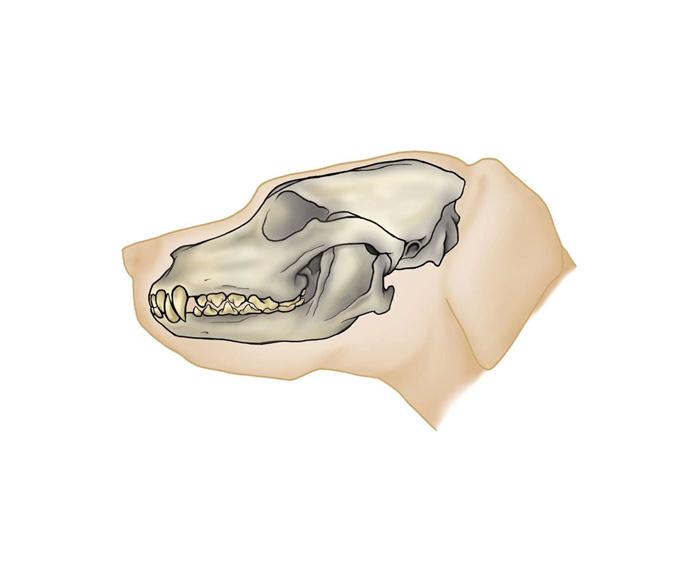 Crânio de carnívoro