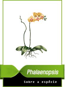 phalaenopsis.png