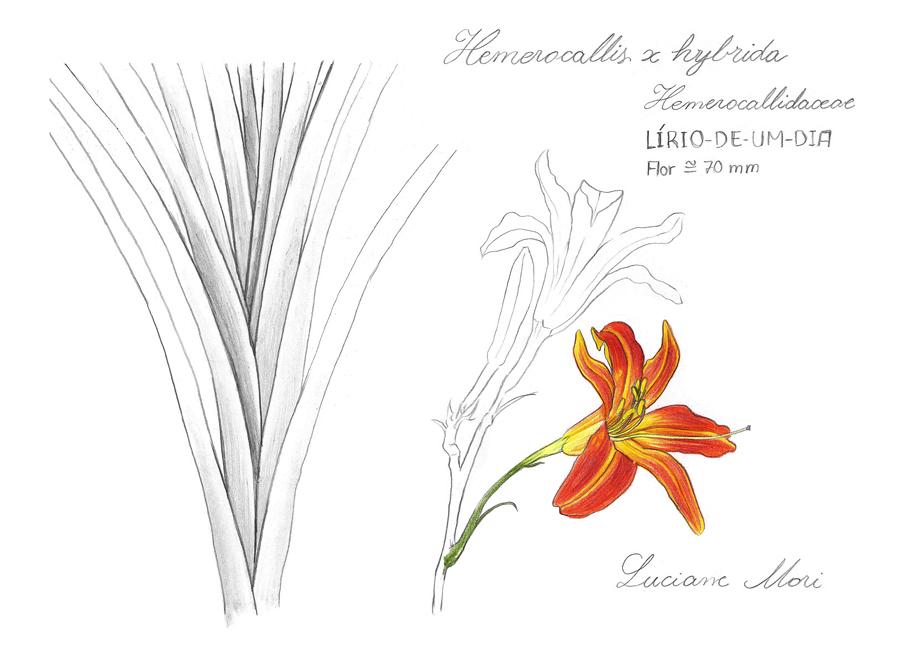 Desenho publicado dia 15 de fevereiro de 2014 no  Diário de Estudos Botânicos .