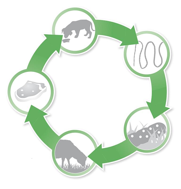 Ovis lifecycle.jpg