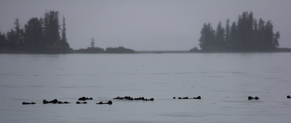 """A """"raft"""" of otters. We saw a lot of these in the bays. Just lying on their backs and chilling out."""