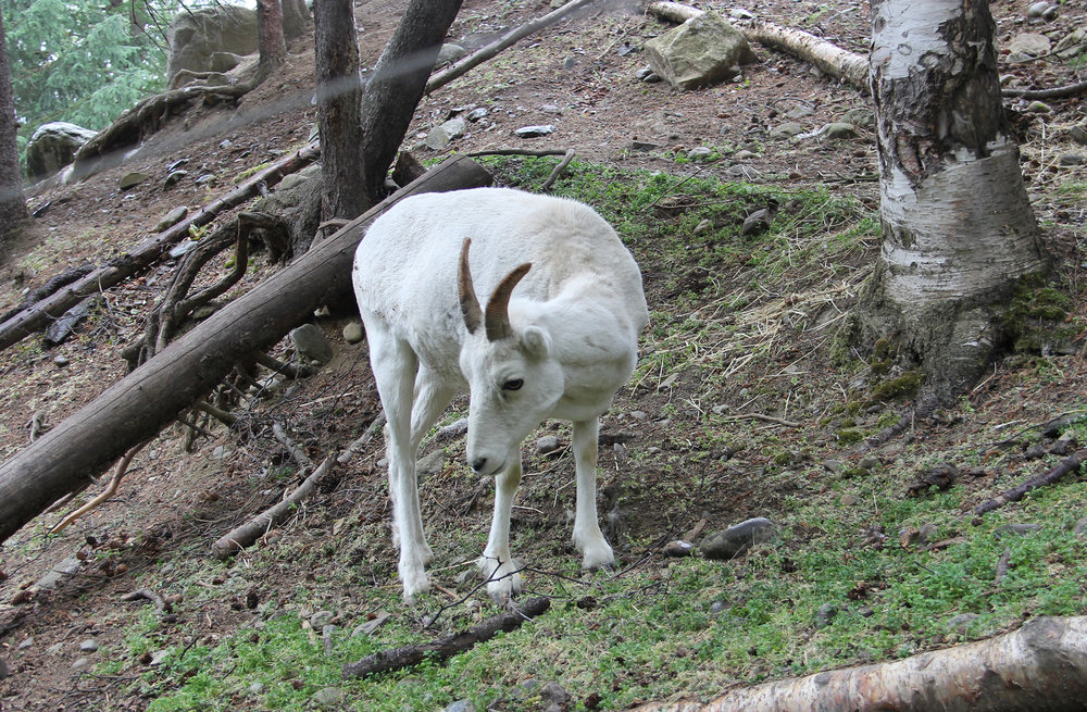 A Dall Sheep. These guys can really climb. We saw them in the wild up the sides of extremely steep cliffs that even Hillary couldn't climb.