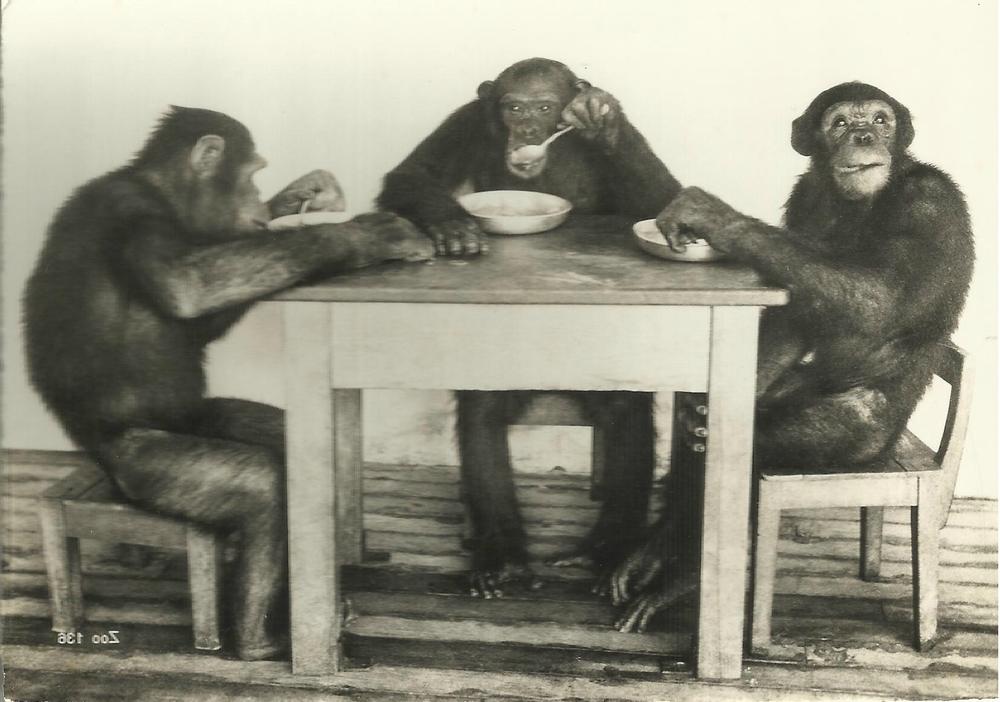 Le repas des chimpanzés au zoo de Zurich (Suisse). Coll. particulière.