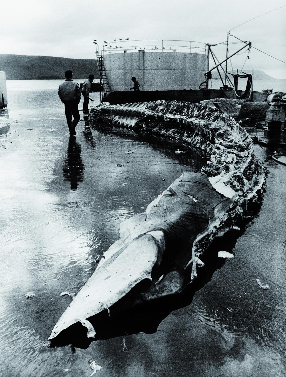 Chasse à la baliene en Islande/Myriam Viallefont-Haas