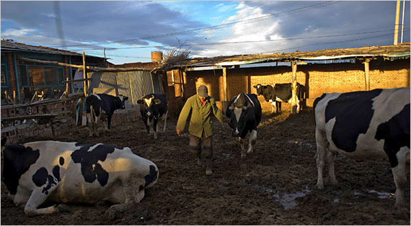 Producteurs laitiers de la province de Hebei. Les producteurs laitiers chinois souffrent des retombées des scandales du lait contaminé et doivent aussi faire face à la baisse des prix et la hausse des coûts de production du lait. (Photo : Nelson Ching/Bloomberg News)