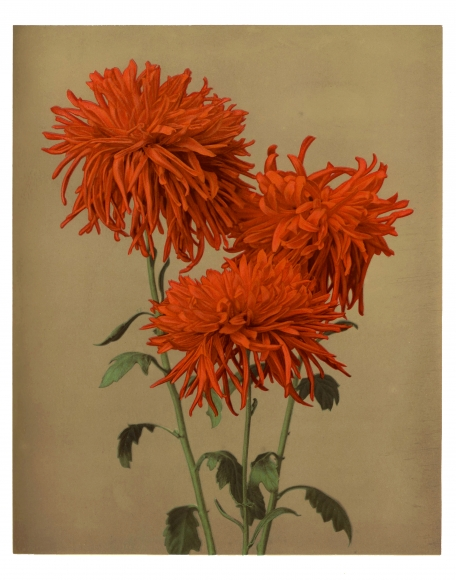 Kasumasa Ogawa   Chrysanthemum , (Orange), c. 1897 Chromo-collotype 26 x 38, 6 cm