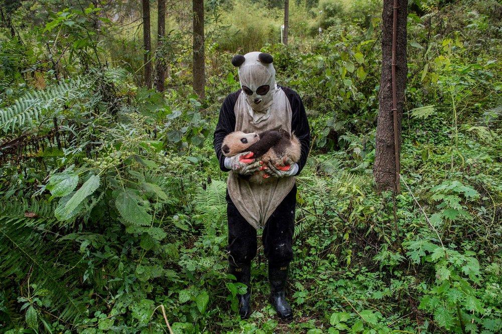 """Au Hetaoping center, à Wolong, Chine, on évite le plus possible aux bébés pandas nés en captivité le contact avec un être humain dans l'espoir de les aider dans leur future vie en liberté, quand ils seront lâchés dans la réserve. From the series """"Pandas gone wild."""" © Ami Vitale, United States of America, 2nd Place, Professional, Natural World, 2017 Sony World Photography Awards"""