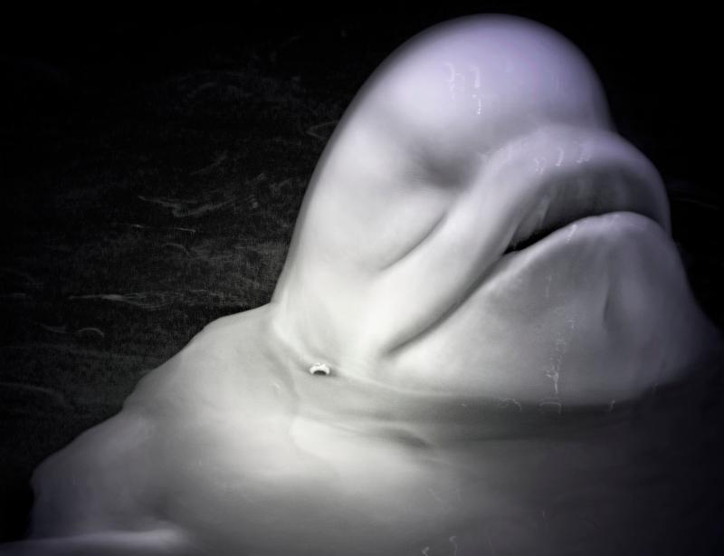 Beluga Whale_ 2017. Copyright Elliot Ross.