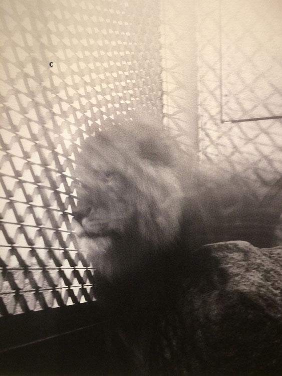 Photo Diana Michener. Nous, comme des lions en cage dans cette société.