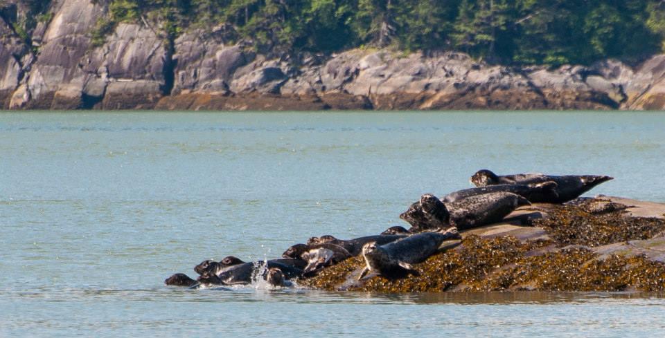 Harbour seals.jpg