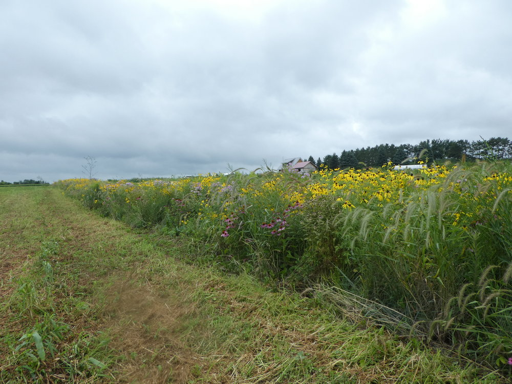 Native Prairie Strip, 2 years after planting. Photo: Sarah Foltz Jordan, Xerces Society.
