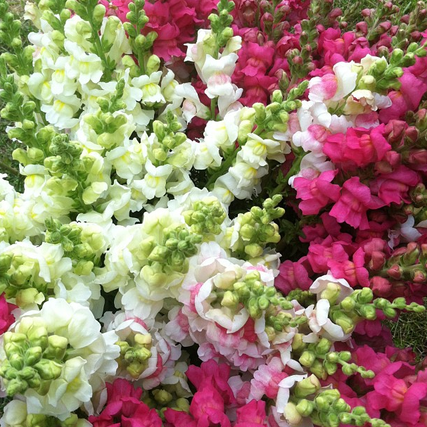 Spring snapdragon harvest; over 20 buckets harvested over the course of the spring season!