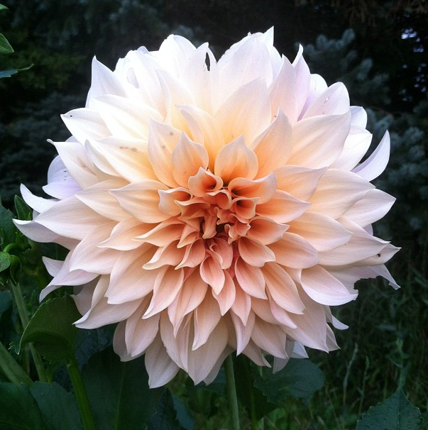 The café au lait dahlias reached their peak in mid-September.